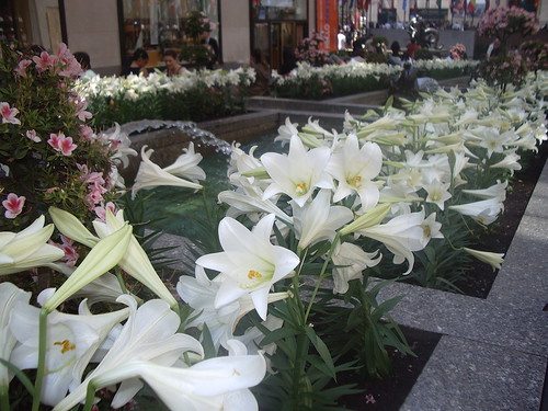 Easter Lillies in Rockafeller Center