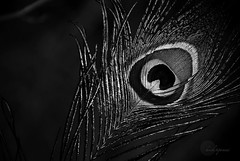 .Conserve. (.krish.Tipirneni.) Tags: park bw india white black bird eye nature colors beautiful nikon wildlife feathers feather conservation peacock fallen ap hyderabad preserve animalplanet protect hpc poaching onblack conserve kbr andhrapradesh 18200vr d80