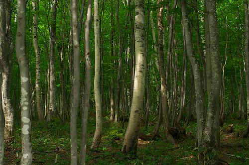 200905231887白樺林