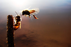 en pleno vuelo... (Paco Espinoza | Photographer) Tags: family abejas sun macro nature water animal work fly flying team francisco action wildlife working insects bee reflect trabajar collaborate espinoza volar naturesfinest fotoarte enjambre flickrfriday honney franciscoespinoza pacoespinoza 50mmmybackyard pacoespinozacom