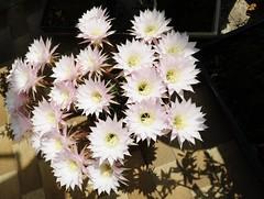 """Echinopsis oxygona (franco borghero filippini) Tags: flower macro insect vespa wasp d rosa bee micro ape casablanca passiflora fiori fiore primula lilium api giglio formica insetti scarabeo lucertola ciclamino cavalletta vespe tarassaco echinopsis calabrone """"nikon 200"""" """"nikkor tupinambo mamillosa 60"""" kenko"""" 700"""" """"duplicatore"""