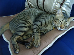 S3700112 (addachin) Tags: pet cute animal cat sushi thailand addachin
