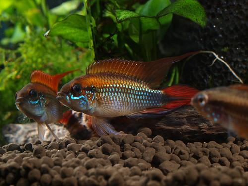 P5296918  藍體紅尾阿卡西
