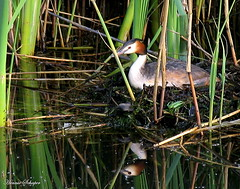Nesting grebe (Art Rock (Hennie)) Tags: reflection water netherlands nest nesting almere greeb canonpowershotpro1 explored artrock2006 hennieschaper