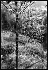 Web design (woolyboy) Tags: uk design blackwhite kent spiders web natures filament dewy bedgebury woolyboy