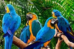 Blue-and-gold Macaws (julesnene) Tags: bird nature canon singapore jurongbirdpark macaw ara macaws araararauna ararauna blueblueblue 50d blueandgoldmacaws colorfulbird canoneos50d blueandyellowmacaws julesnene juliasumangil neotropicalparrots