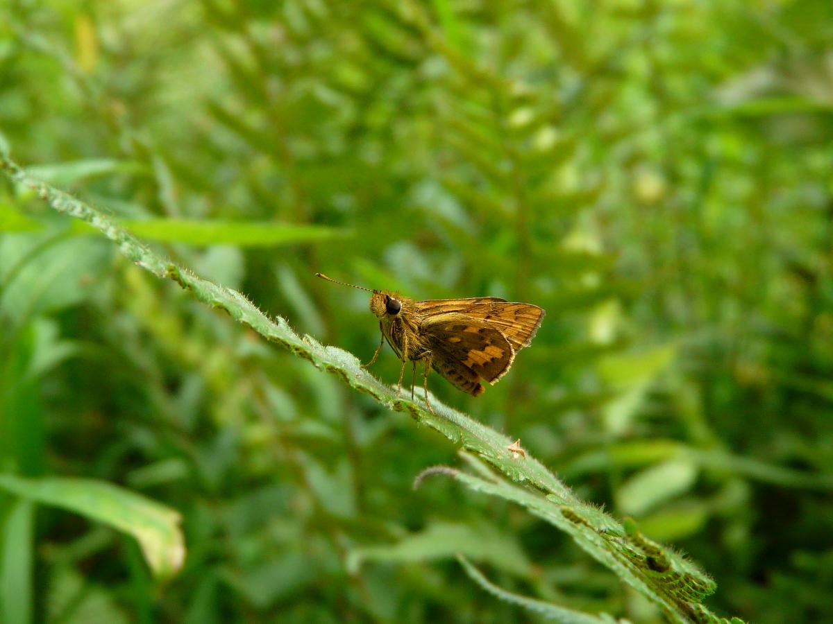 Telicota ohara formosana - 竹紅弄蝶