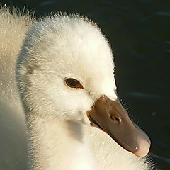 LITTLE ONE (ddt_uul) Tags: baby white lake water spring swan michigan cygnet potofgold sprinhg concordians platinumheartaward fbdg platinumpeaceaward