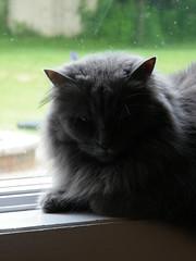 362/365 (June 8, 2009) - Wanda on the windowsill (cseeman) Tags: cats pets wanda perch windowsill project365 2009project365coreys