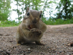Chipmunk (Billy Wilson Photography) Tags: portrait ontario canada detail macro face digital canon mammal rodent eyes sand furry hands funny comedy humor ground chipmunk peanut soo northern wiskers saultstemarie northernontario algoma billywilson