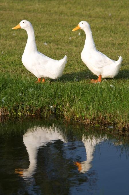 ducks_0166