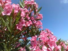Colori di Sardegna (11) (zipckr) Tags: sardegna flowers colors sardinia colours bougainvillea fiori colori oleander cagliari pula buganvillea oleandro