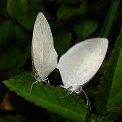 Barred Sulphur  (Eurema daira)  - Godart, 1819 (Burnt Umber) Tags: florida miami papillon mariposa mariposas farfalla ©allrightsreserved papallonas pirpinto euremadaira barredsulphur rpilla001