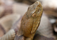 "C-Falls - copperhead head • <a style=""font-size:0.8em;"" href=""http://www.flickr.com/photos/30765416@N06/5702102882/"" target=""_blank"">View on Flickr</a>"