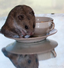 MY tea. No sharing with you!! (Jorma McCracken) Tags: pet cute animal little sweet dwarf chinese adorable tiny hamster hammy willoughby hammie criceto