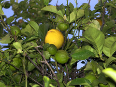 Lemons from our tree