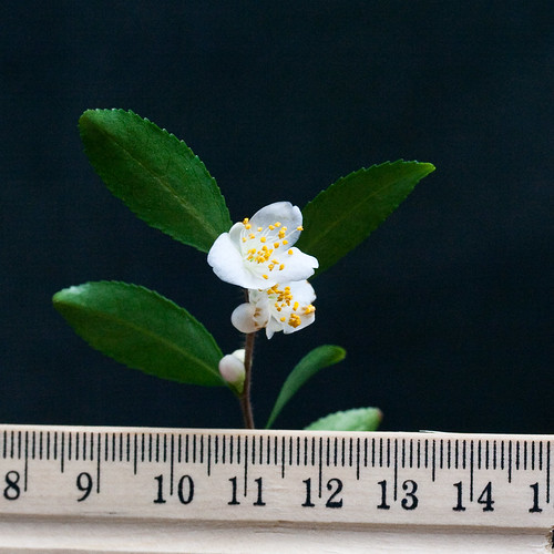A small-leaved Camellia species from the garden of John Wang