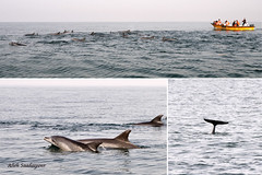 Dolphins in Persian Gulf (Alieh) Tags: blue day2 water persian iran dolphin persia iranian ایران persiangulf qeshmisland ایرانی خلیجفارس دریا aliehs alieh ایرانیان پرشیا عالیه سعادتپور دلفین saadatpour hengamisland upcoming:event=2112901