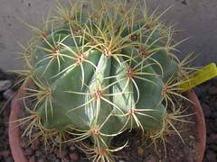 Ferocactus glaucescens (bramwellii) Tags: cactaceae ferocactus jardindecactusdetoledo cactuscheca coleccinflixloarte melahanrobadodeljardin