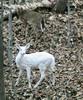 white deer 2 (melinda_acker) Tags: ourkentucky
