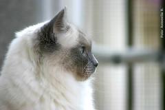 Randal (Antonella Ravasi) Tags: cats cat randal 2009 gatti ragdoll abigfave kissablekat bestofcats 5boc 52syl