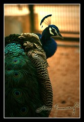 (Archana Ramaswamy) Tags: color bird beautiful proud colorful feathers peacock arrogant
