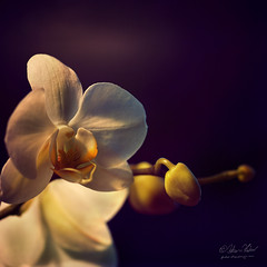 Finest Emotions (fesign) Tags: flowers orchid explore orchidaceae excellence tropicalflowers angiospermae