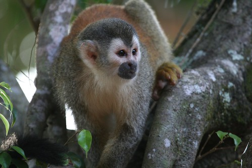 2009-02-22--Squirrel Monkey.jpg