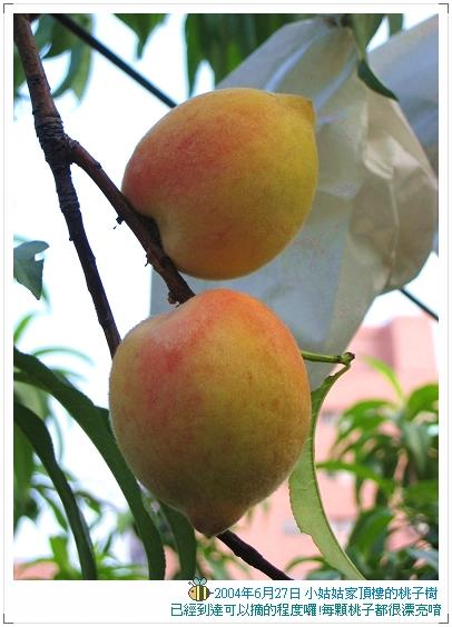 04.06.27 小姑姑家的桃子樹
