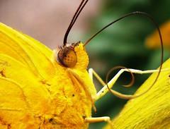 A língua da borboleta (Jakza) Tags: amarelo borboleta inseto língua duetos nanaturezainnature tufototureto challengegamewinner