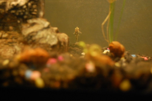 My Little Otocinclus