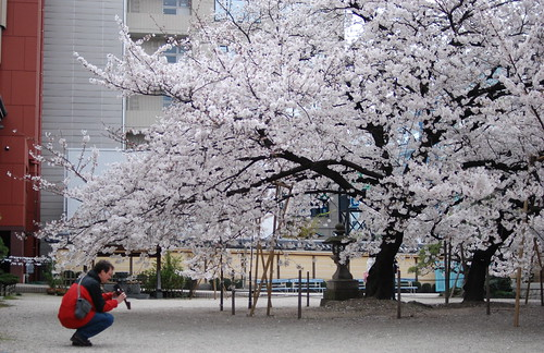 Request Japanese Cherry Tree Model For A School