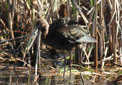 White-faced Ibis - 3/16/2009