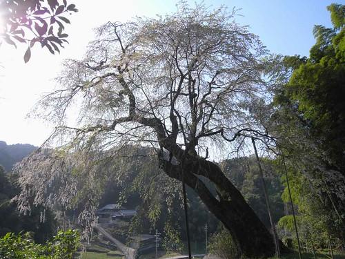 09-04-10【桜】@満願寺「八講桜」