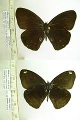 Forsterinaria antje