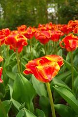 Keukenhof - April 2009 (Vanes!) Tags: flowers netherlands flora floraandfauna