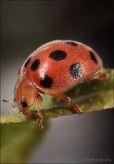 be my lady (inkin' ian) Tags: macro nature bug mea mpe65mm mt24ex macroextreme macrolife 5dmark2 extremeaward
