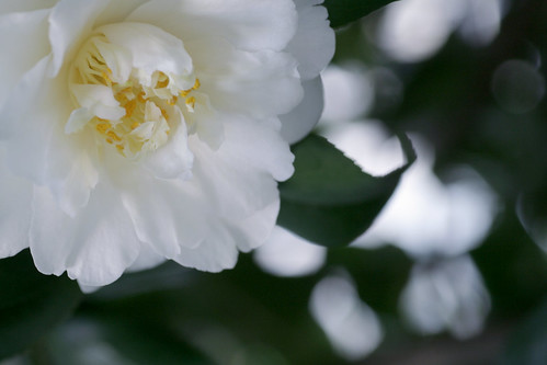 anniversary camellia