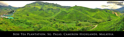 'BOH' Tea Plantation Panorama