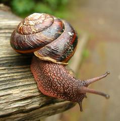 Red Washington State Snail (Ideaholic) Tags: red macro photography washington state spirit snail blueribbonwinner otw p1f1 platinumphoto anawesomeshot superaplus aplusphoto thechallengefactory keypennisula