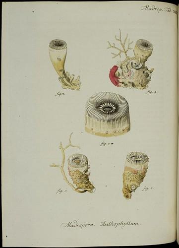 Madrepora anthophyllum