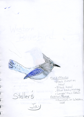 Stellers Jay Nature Journal -- Zippy age 9