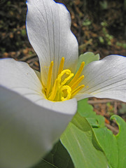 Western Trillium Close-up (jkeenan501) Tags: plants oregon trillium pacific northwest western supershot westerntrillium abigfave anawesomeshot oforegon northwestpacific plantsplants northwestplants