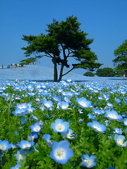 Hitachi Seaside Park (Nacho Valo) Tags: flowers blue flores japan azul japon soe hitachi ibaraki kaihin colorphotoaward goldstaraward
