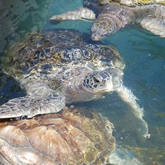 Green Sea Turtles (Chelonia mydas) (StGrundy) Tags: cruise carnival detail closeup nikon georgetown caribbean legend caymanislands cheloniamydas grandcayman greenseaturtle caymanturtlefarm d80 boatswainsbeach aperturef56 focallength55mm exposure0008sec1125 nikkor1855mmf3556gvr