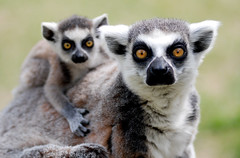 Ring tailed lemur (floridapfe) Tags: family two baby cute animal zoo mother korea ring lemur tailed everland ringtailedlemur  vosplusbellesphotos 2voc