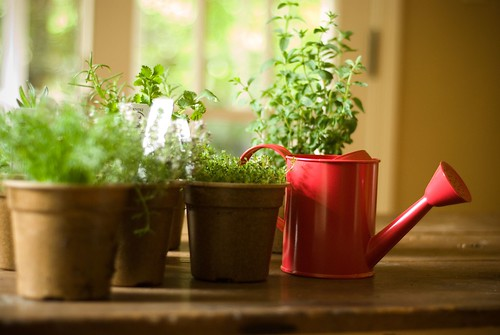 herb garden on dining room table