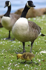Goslings (Thomas Tolkien) Tags: school copyright art sports tom digital photography photo education nikon d70s teacher website scarborough teaching tolkien jrr tuition twitter robertbringhurst bringhurst peasholmpark thomastolkien tomtolkien httpwwwtomtolkiencom httpthomastolkienwordpresscom tolkienart notrelatedtojrrtolkien tolkienteacher tolkienteaching