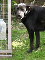 mocha caught stealing the chook food (cskk) Tags: food dog black mocha stealing chook