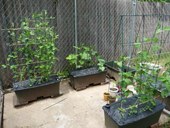 My Garden (Dog Mom of Five) Tags: gardening edamame sugarsnappeas earthbox japaneseeggplant japanesecucumber